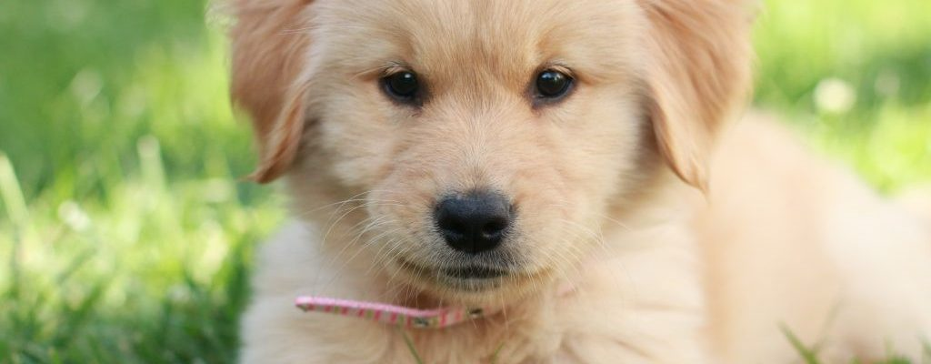 When should a puppy wear a collar?